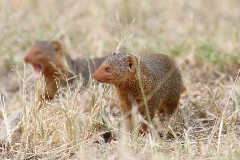 Download Common dwarf mongooses stock image. Image of carnivora - 34367721