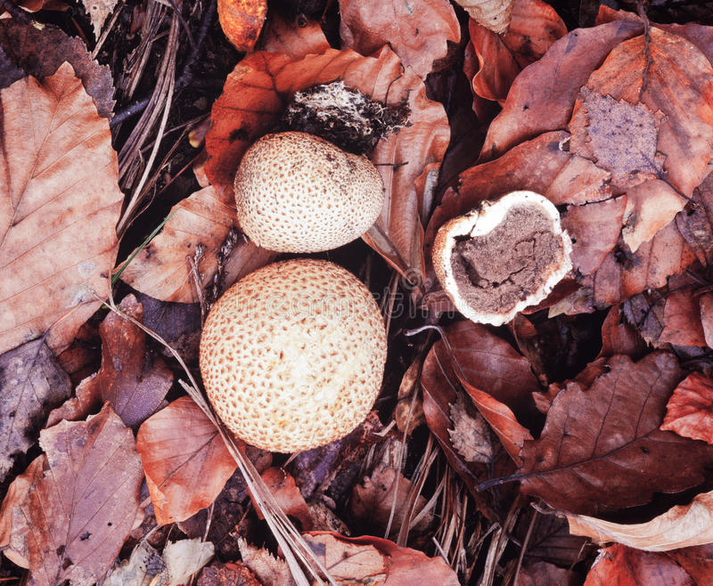 Common Earth Ball Scleroderma citrium mushrooms royalty free stock images