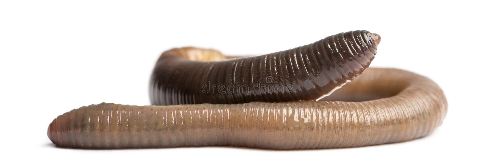 Common earthworm, Lumbricus terrestris, isolated. On white stock photo