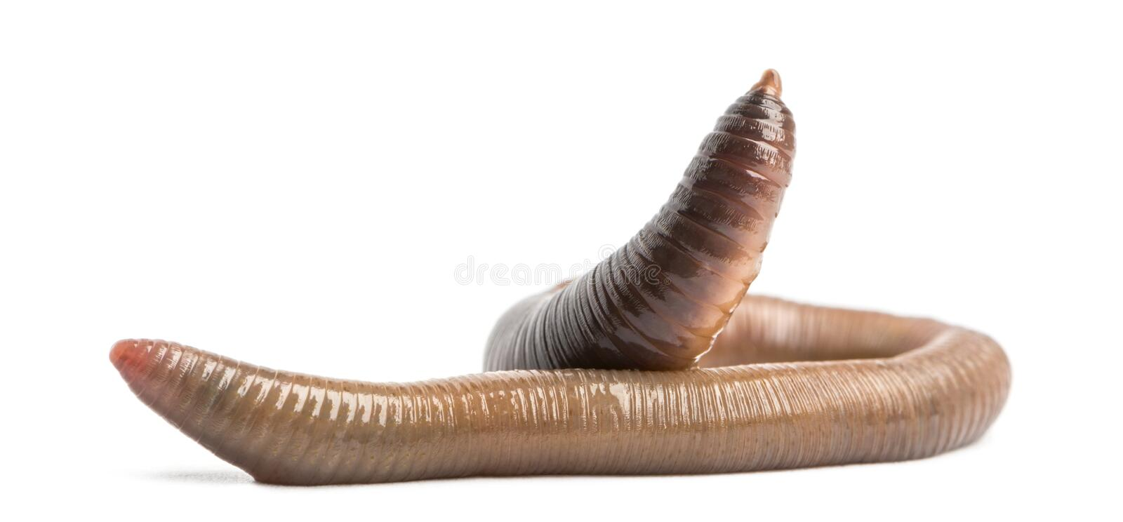 Common earthworm, Lumbricus terrestris, isolated. On white royalty free stock photo