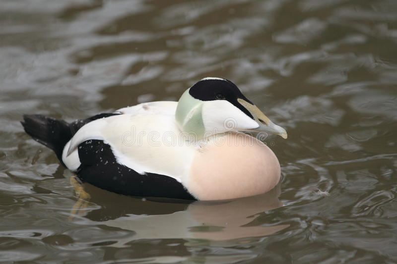 Download Common eider stock image. Image of eider, nature, floating - 28644637
