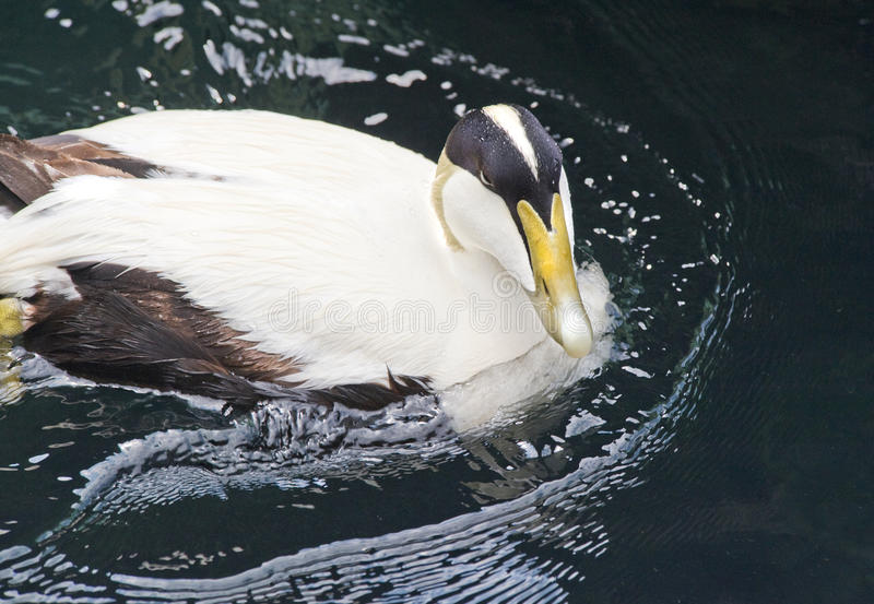 Download Common Eider Duck stock photo. Image of green, black - 14355500