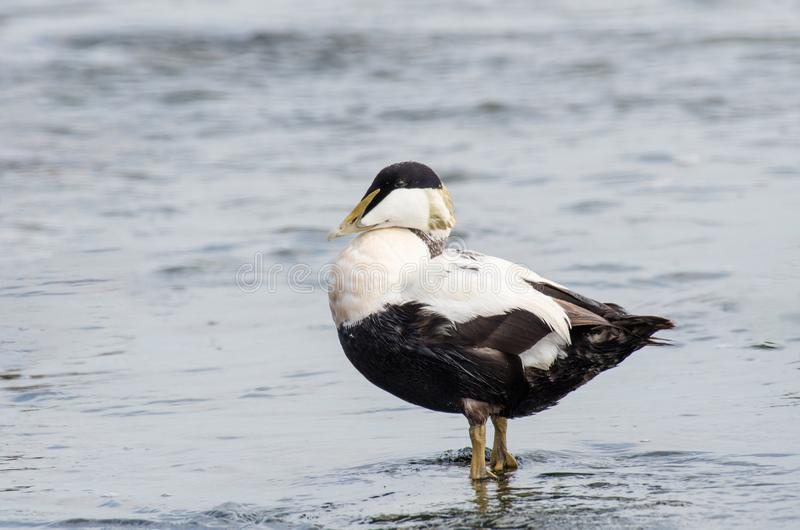 Common Eider Duck - Somateria mollissima Male royalty free stock photography