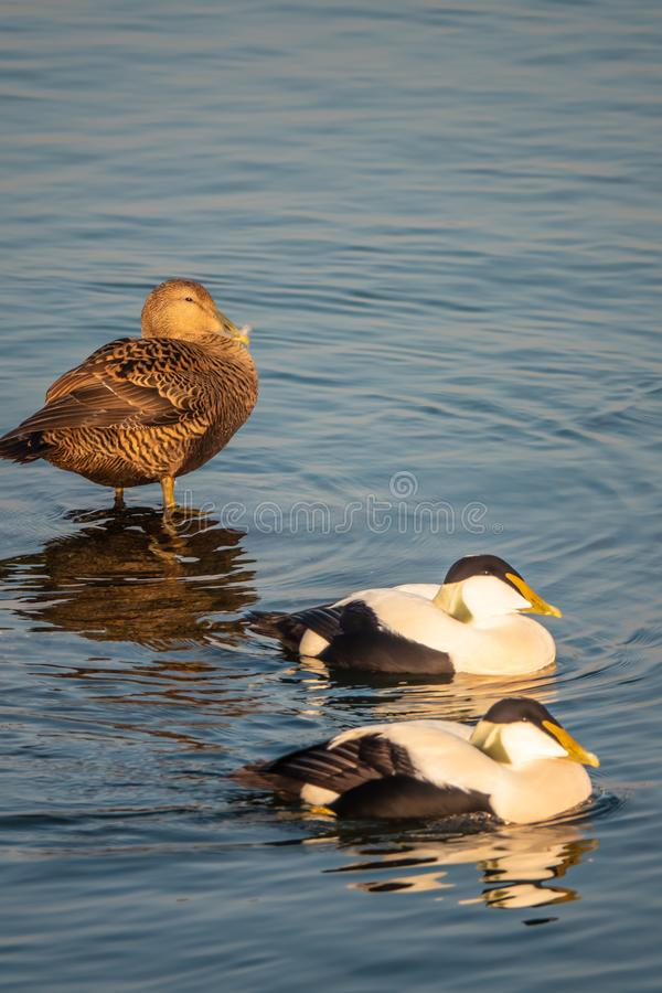 Common eiders Somateria mollissima, a large sea-duck found over the northern coasts of Europe and North America. It breeds in. Arctic but winters farther south royalty free stock photography