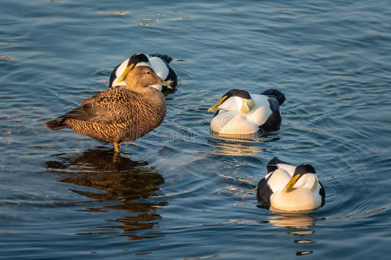 Common eiders Somateria mollissima, a large sea-duck found over the northern coasts of Europe and North America. It breeds in. Arctic but winters farther south royalty free stock images