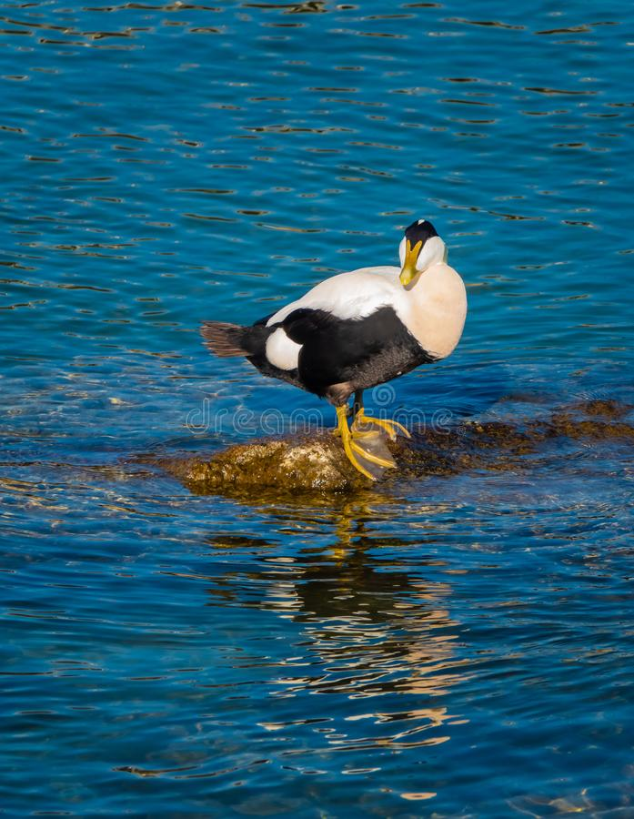 Common eiders Somateria mollissima, a large sea-duck found over the northern coasts of Europe and North America. It breeds in. Arctic but winters farther south stock images