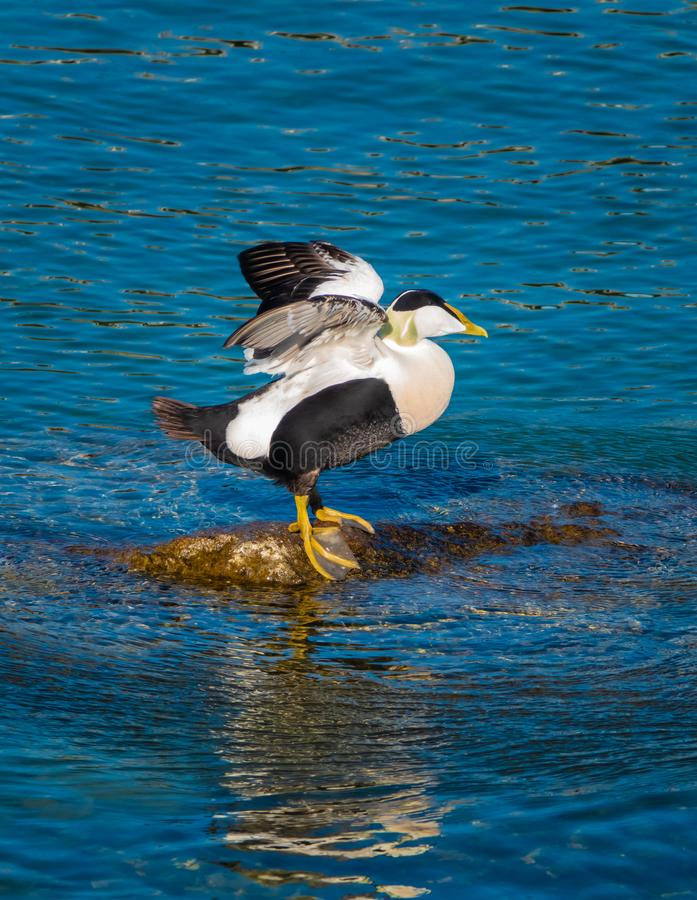 Common eiders Somateria mollissima, a large sea-duck found over the northern coasts of Europe and North America. It breeds in. Arctic but winters farther south stock photos
