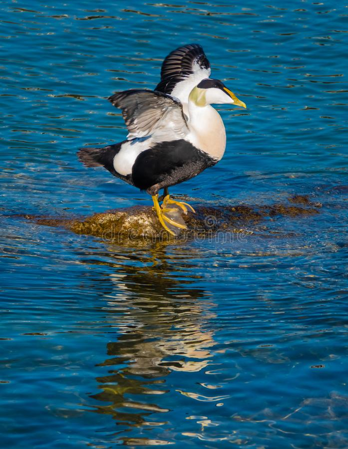 Common eiders Somateria mollissima, a large sea-duck found over the northern coasts of Europe and North America. It breeds in. Arctic but winters farther south royalty free stock image