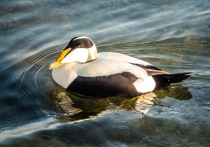 Common eiders Somateria mollissima, a large sea-duck found over the northern coasts of Europe and North America. It breeds in. Arctic but winters farther south stock photo