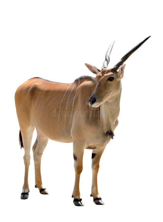 Free Common Eland Antelope Taurotragus Oryx Isolated On White Background. Royalty Free Stock Photography - 160169397