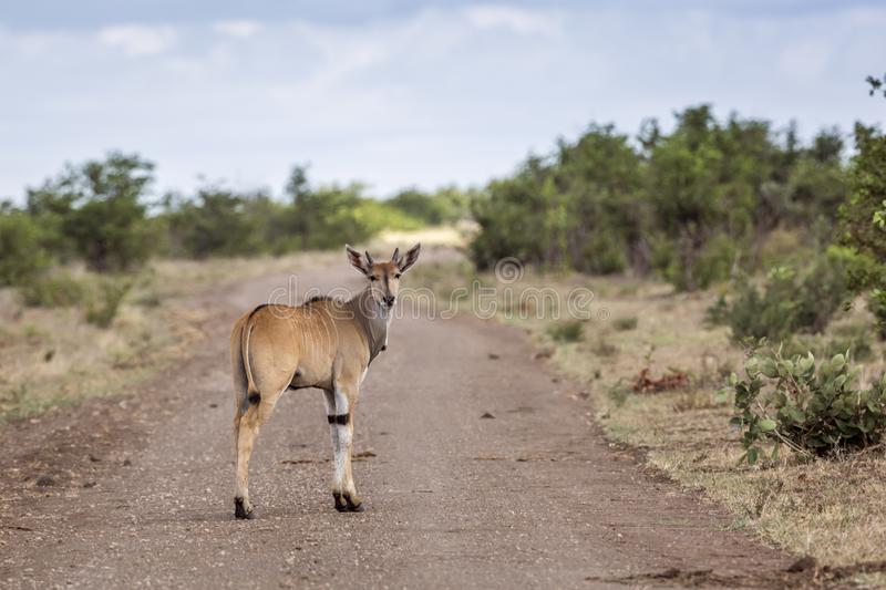 Common eland in Kruger National park, South Africa royalty free stock images