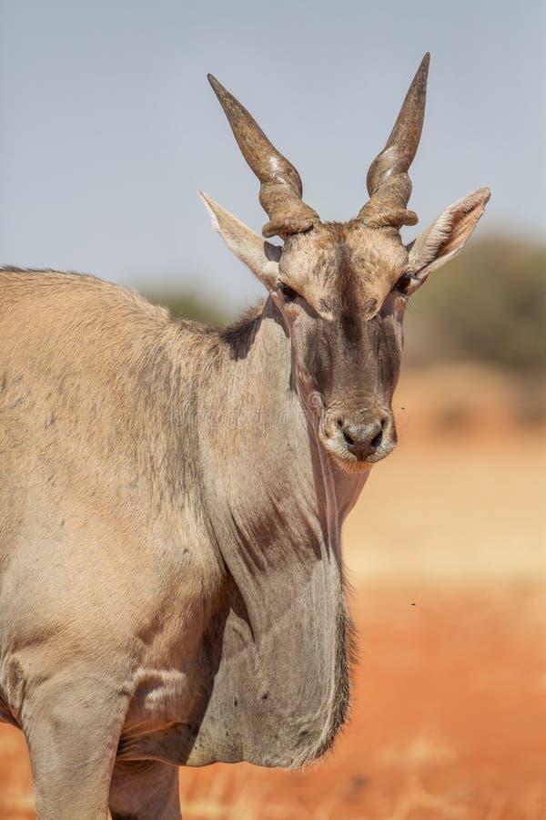 Common eland portrait on red sand, Etosha National Park, Namibia stock photo