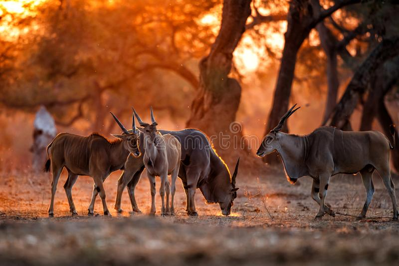 Common eland with sunset in Mana Pools stock photography