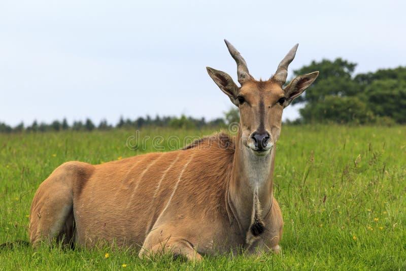 Common Eland stock image