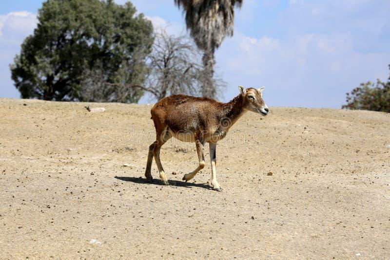 Young Eland Antelope stock image