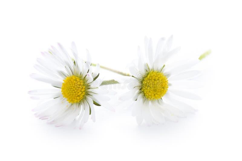 Common english lawn daisies studio shot