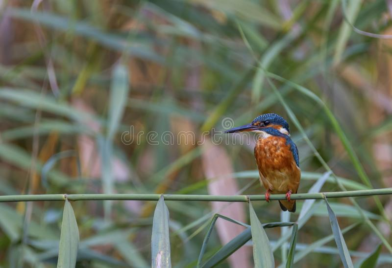 Common, eurasian or river kingfisher, Alcedo atthis, Switzerland. Female common, eurasian or river kingfisher, Alcedo atthis, perched on a small branch royalty free stock photo