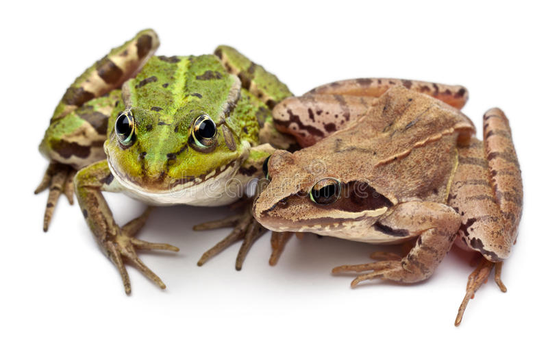 Download Common European Frog Or Edible Frog, Rana Stock Image - Image: 22843971