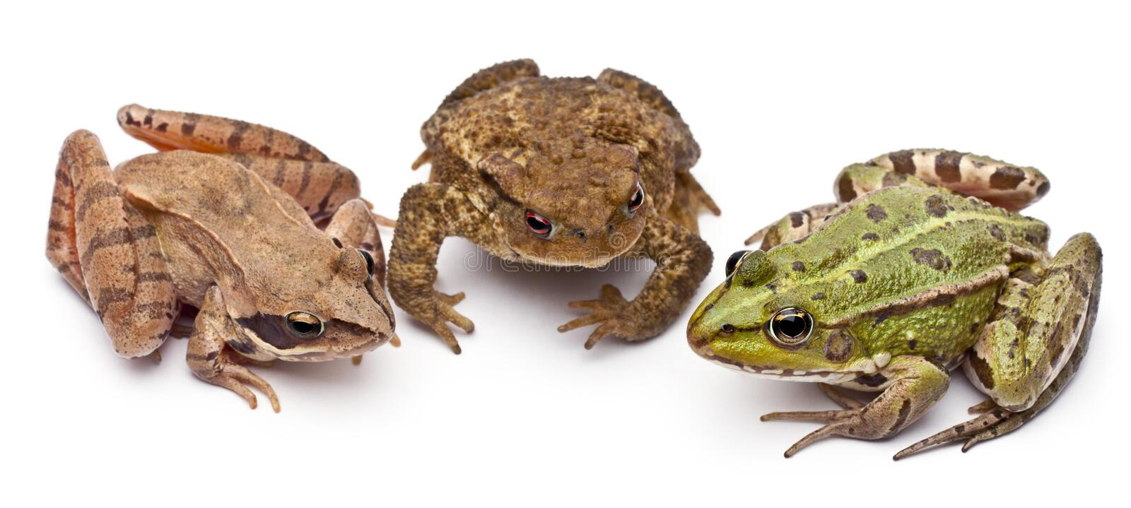 Download Common European Frog Or Edible Frog, Rana Kl. Stock Photo - Image: 22173658