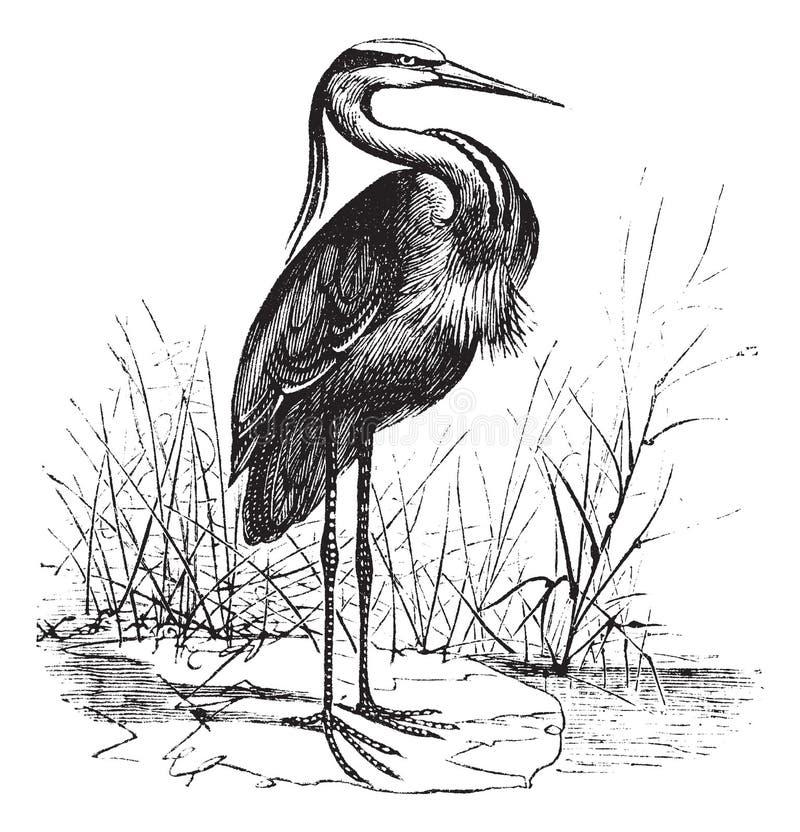 Free Common European Heron Ardea Cinerea Or Grey Heron Vintage Engraving Stock Photo - 163050430