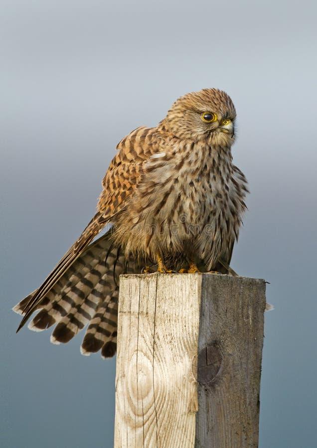 Download Common european Kestrel stock photo. Image of bird, falco - 22161448