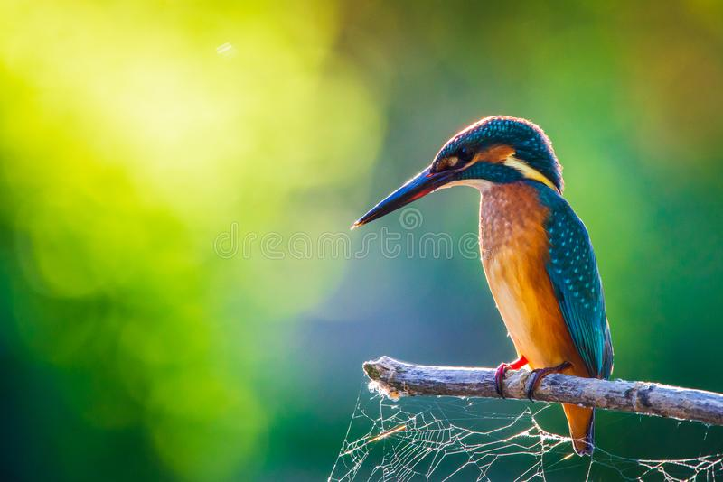 Common European Kingfisher or Alcedo atthis perched on a stick above the river and hunting for fish stock images