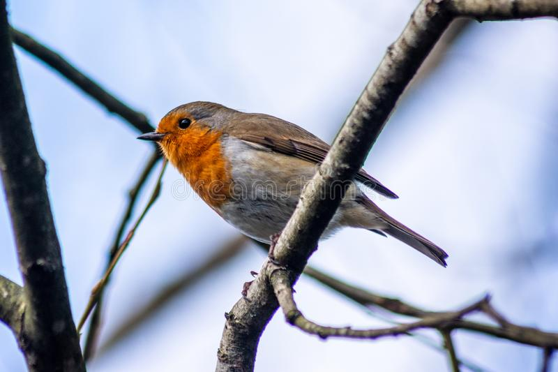 A common or european robin erithacus rubecula perched on a branch stock images