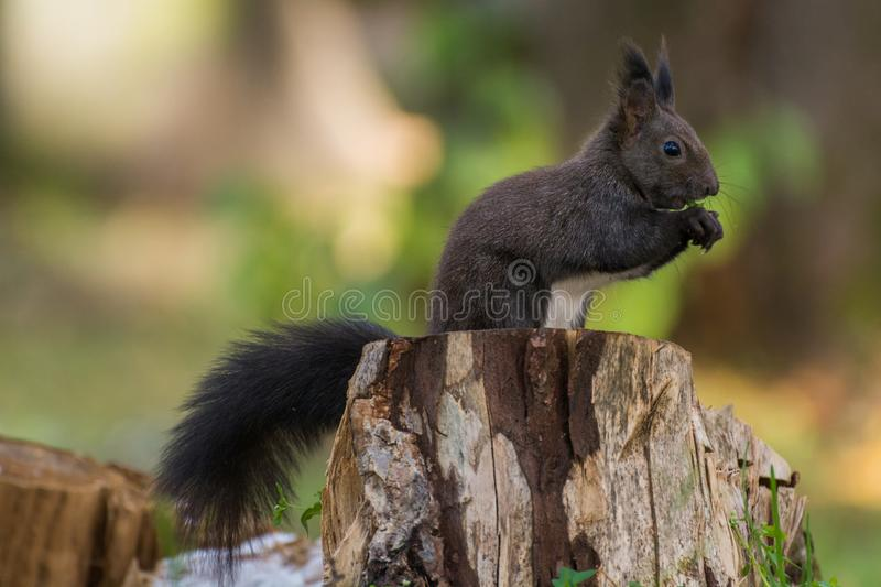 Common European Squirrel eating. In Vatra Dornei, Romania royalty free stock photography