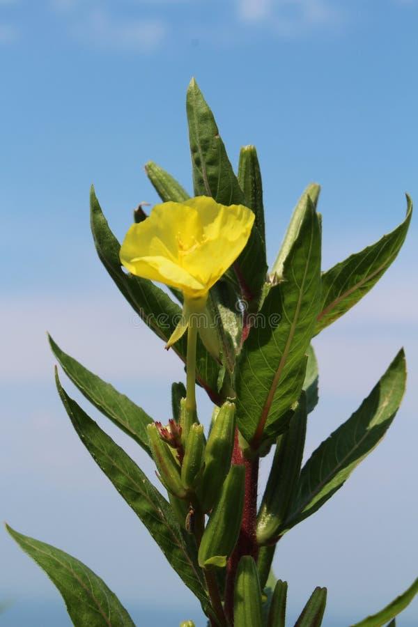 Common evening primrose American wildflower yellow bloom. Vertical aspect stock photo