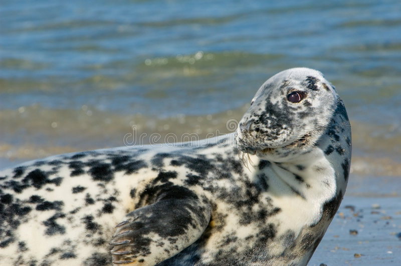 Download Common Female Seal stock photo. Image of nature, phoca - 5121154