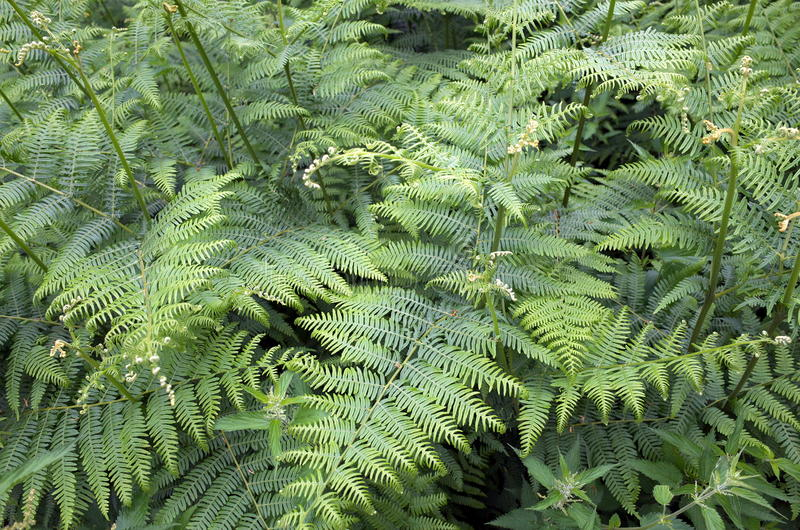 Common Fern royalty free stock photography