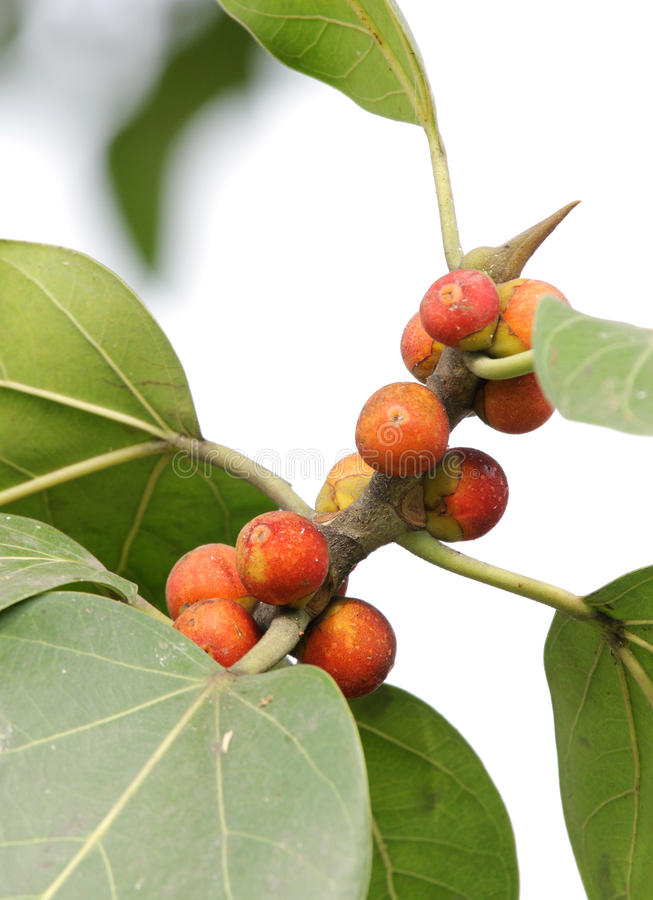 Download Common Fig stock image. Image of farming, tree, bunch - 27252135