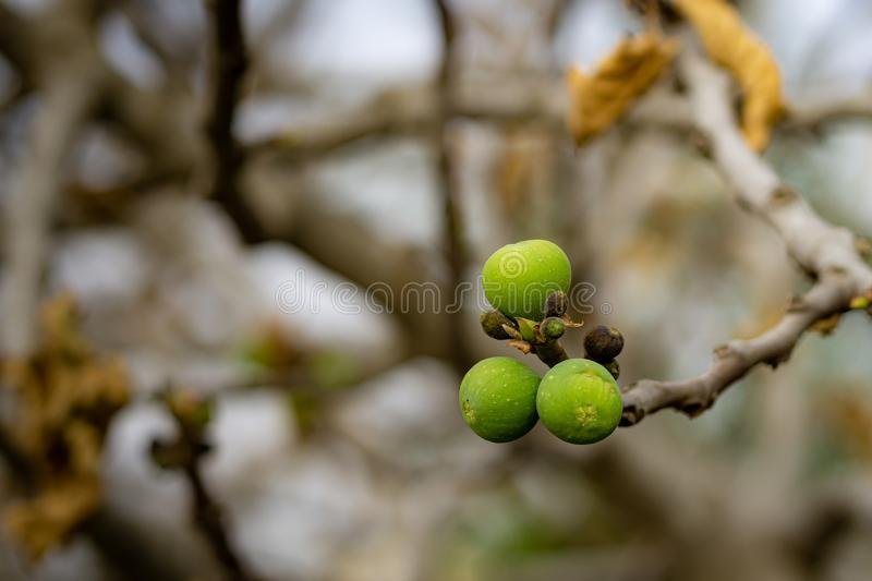 Common fig on a leafless twig royalty free stock photo