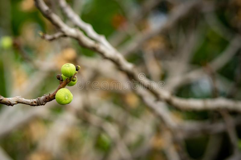 Common fig on a leafless twig royalty free stock photography