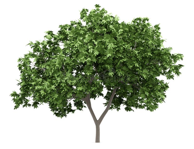 Common fig tree isolated on white royalty free illustration