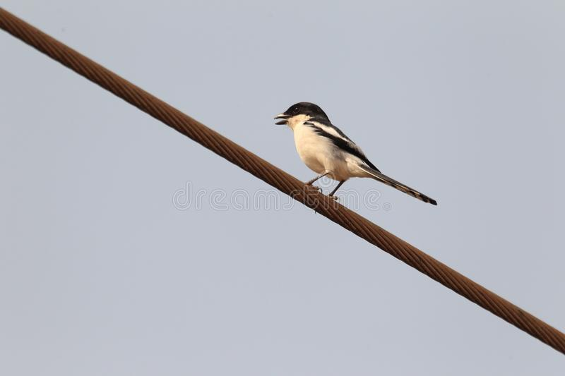 Common Fiscal or Northern fiscal. Lanius humeralis in Ghana royalty free stock images