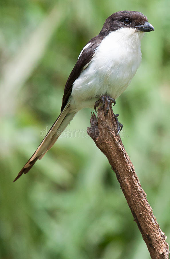 Common fiscal perched on top of stick. Common southern fiscal Lanius collaris perched on top of a twig in Karura Forest, Nairobi stock photography