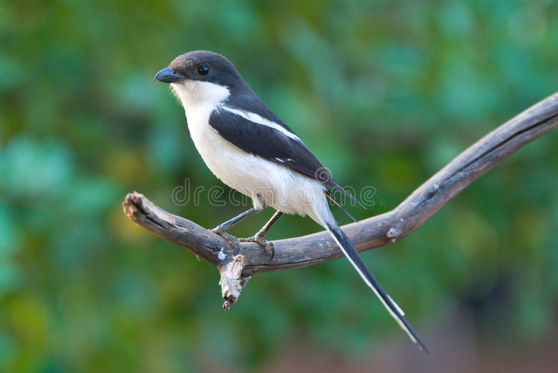 Download Common Fiscal Shrike Stock Images - Image: 7672804