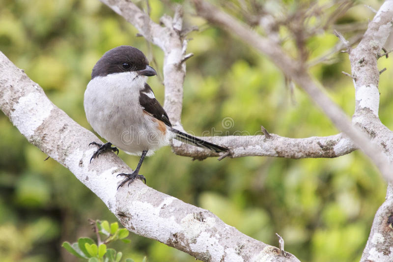 Common fiscal shrike. Perched on a branch royalty free stock images