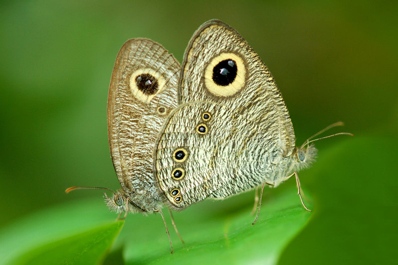 Common Five-ring Butterfly stock photos