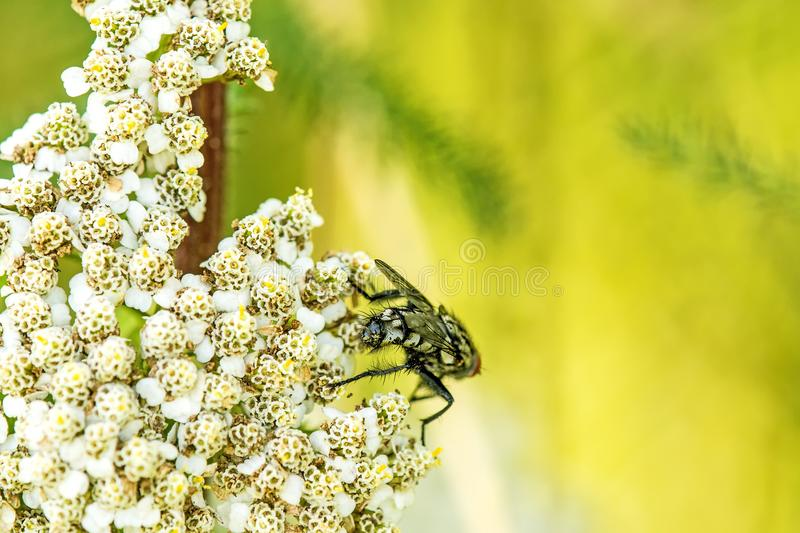 Common fly on yarrow flower stock image