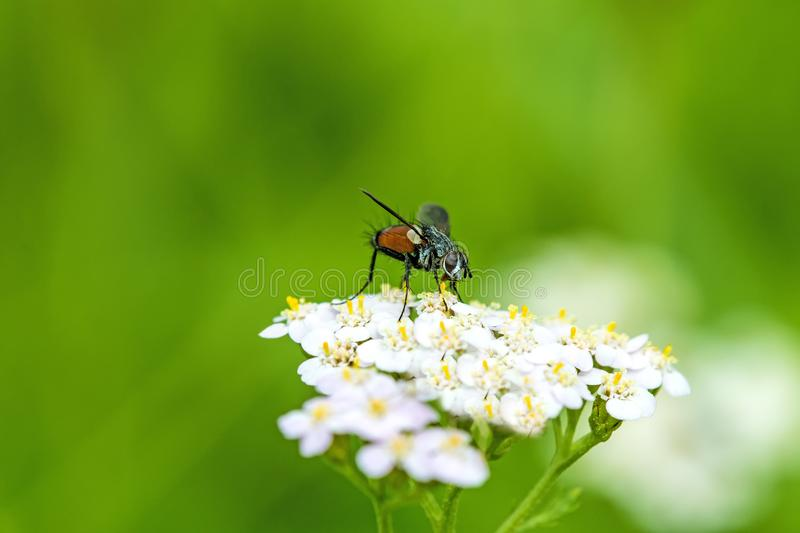 Common fly on yarrow flower royalty free stock photos