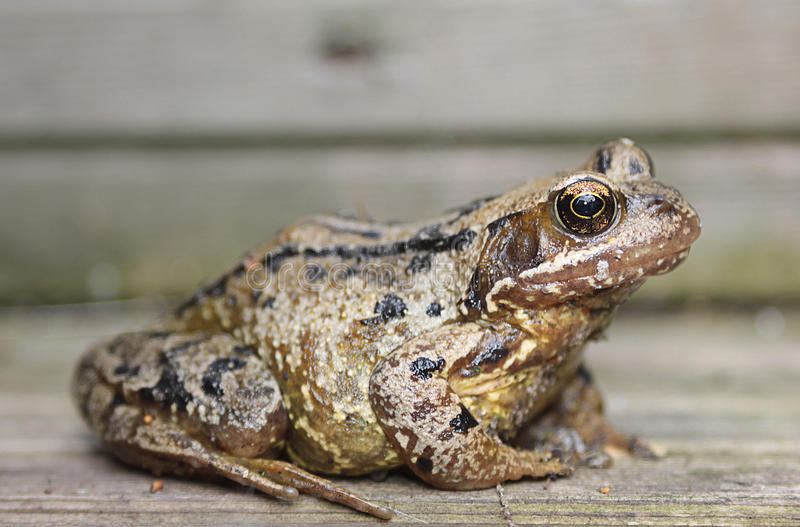 Download Common Frog stock photo. Image of detail, rana, common - 20753088