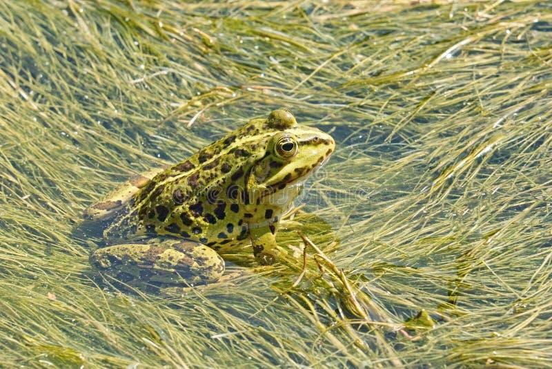 Common frog. Green frog or esculenta, pelophylax esculentus, ranidae stock photo