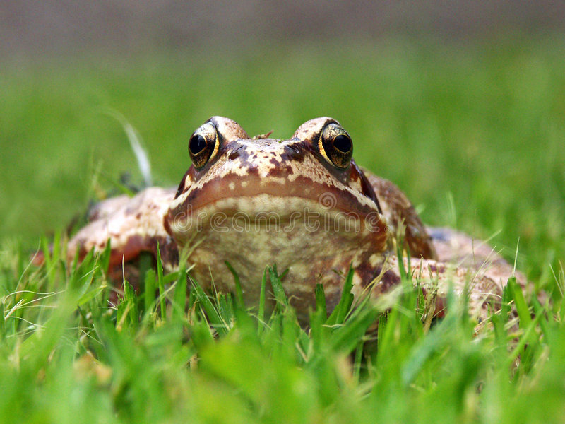 Download Common Frog Stock Photo - Image: 742220
