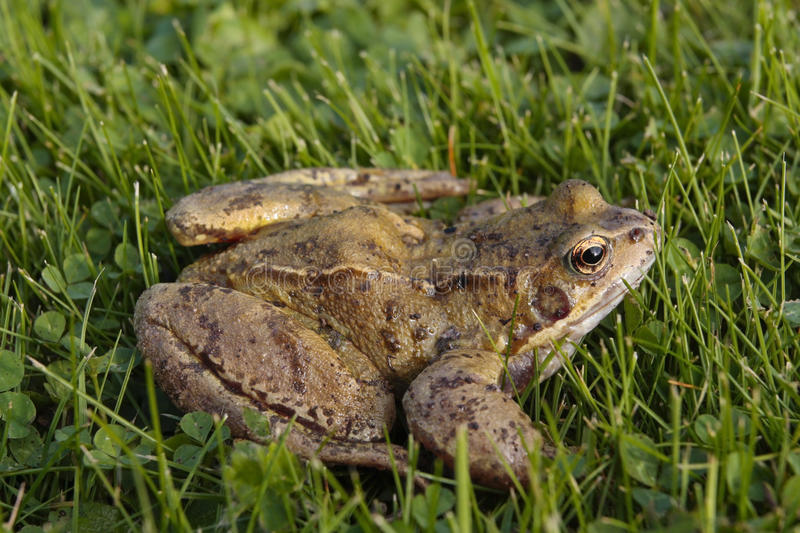 Download Common frog on grass stock photo. Image of slimy, amphibian - 17138762