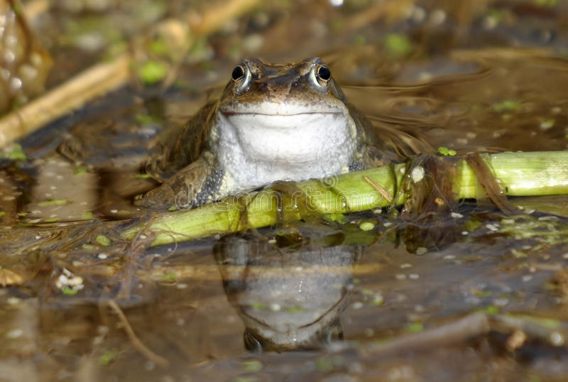 Common Frog. A common frog, Latin name, rana temporaria, in a natural water environment stock photo