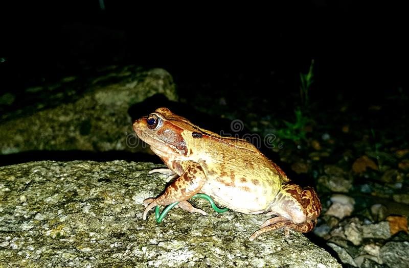 The common frog &;Rana temporaria& ;, also known as the European common frog, European common brown frog,. The common frog & ;Rana temporaria royalty free stock photos