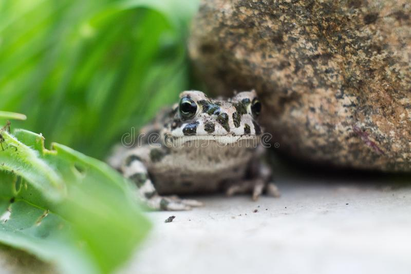 The common frog Rana temporaria. Also known as the European common frog, European common brown frog, or European grass frog, is a semi-aquatic amphibian of the stock image