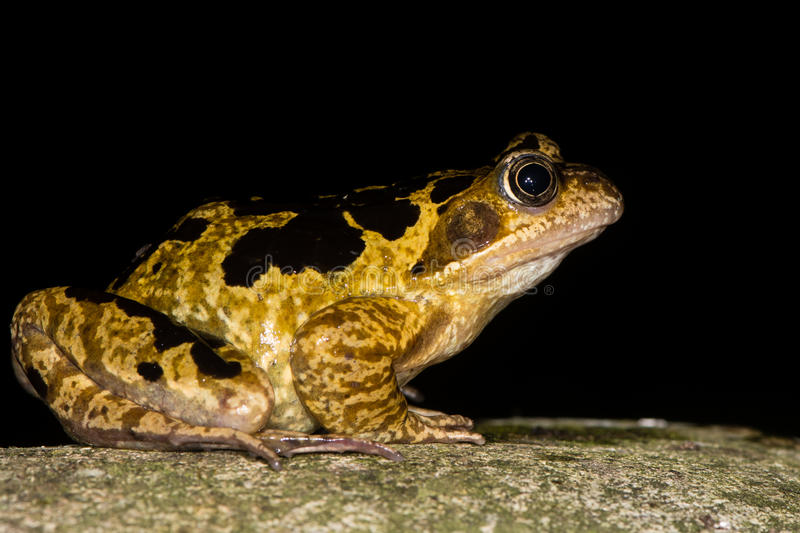 Common frog & x28;Rana temporaria& x29; with bold markings. Brightly marked amphibian in the family Ranidae, against black background royalty free stock photography